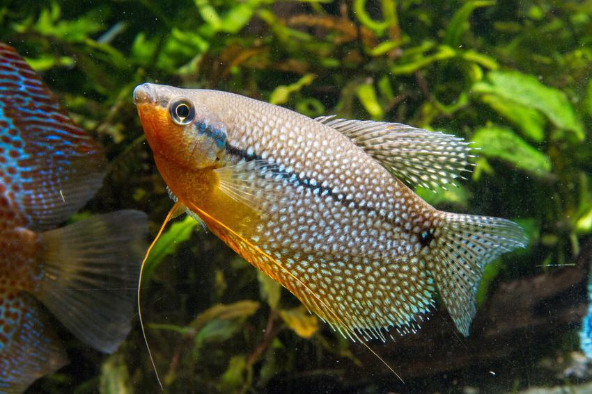 Ryba gurami mozaikowe w akwarium, a także jej rozmnażanie i cena