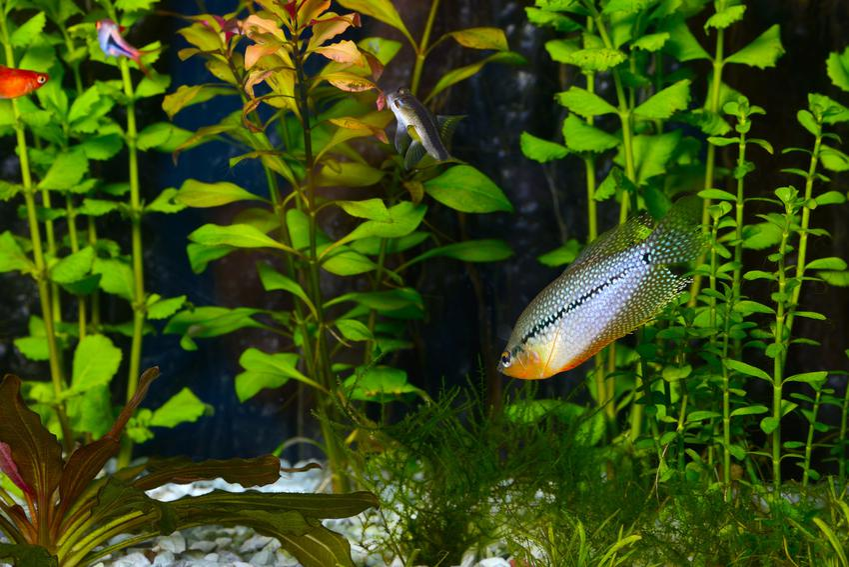 Rybka gurami mozaikowe na tle roślin w akwarium, a także wymagania i cena