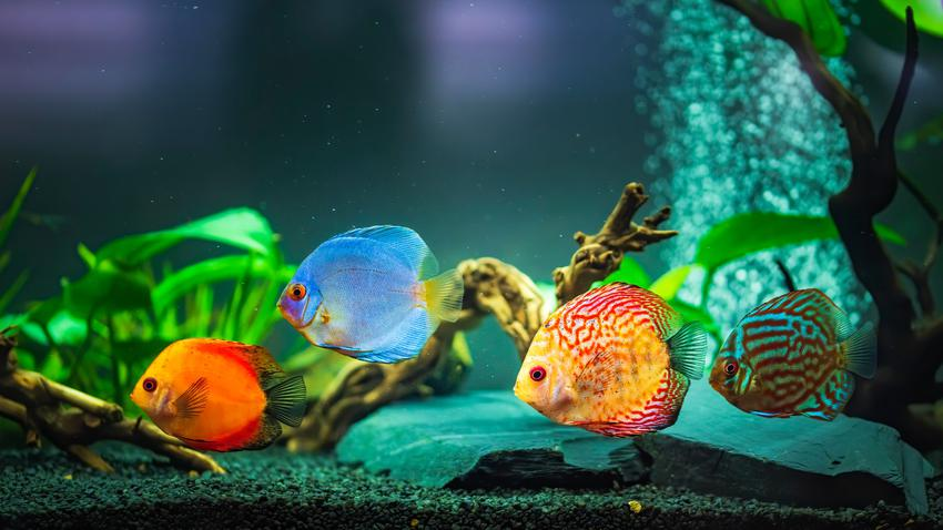 Kolorowe ryby dyskowce w akwarium oraz ich hodowla, rozmnażanie i wymagania
