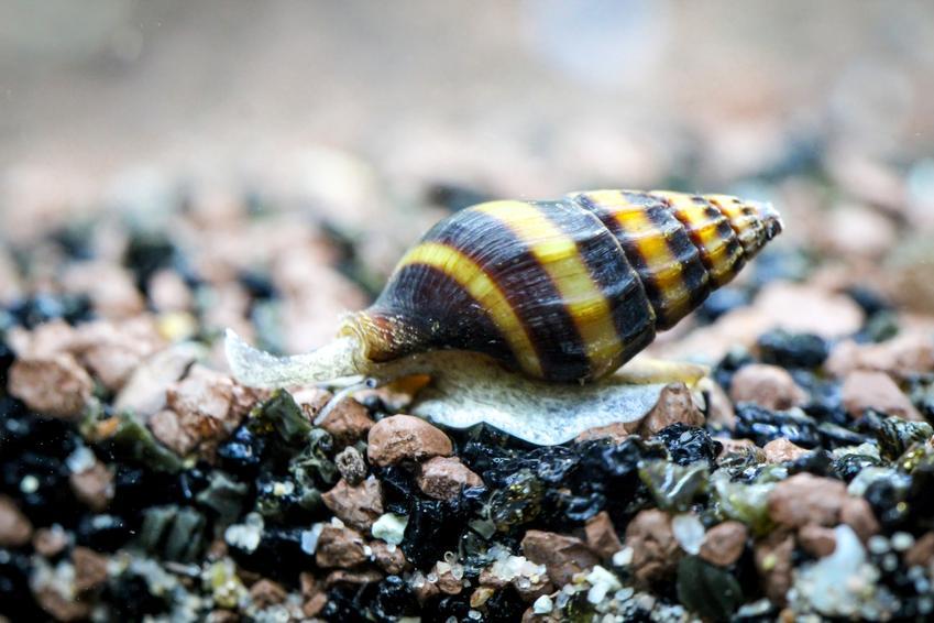 Ślimak helenka na kamyczkach w akwarium, a także jego wymagania i hodowla