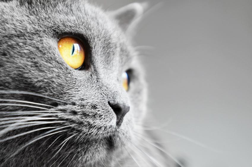 Niebieski kot brytyjski i zbliżenie na jego pyszczek, a także wszelki informacje na jego temat