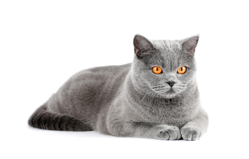 Niebieski kot brytyjski lub kot angielski na białym tle, a także jego cechy charakteru