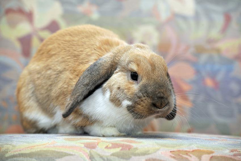 Piękny baranek miniaturka królik domowy na kolorowym tle oraz jego hodowla