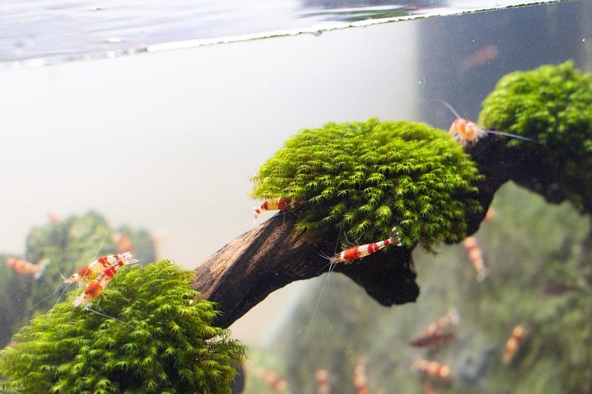 Korzeń akwariowy porośnięty roślinką, a także jakie korzenie do akwarium wybrać