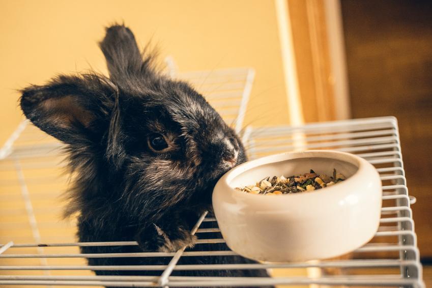 Królik wychodzący z klatki dla królików domowych oraz polecana klatka dla królika