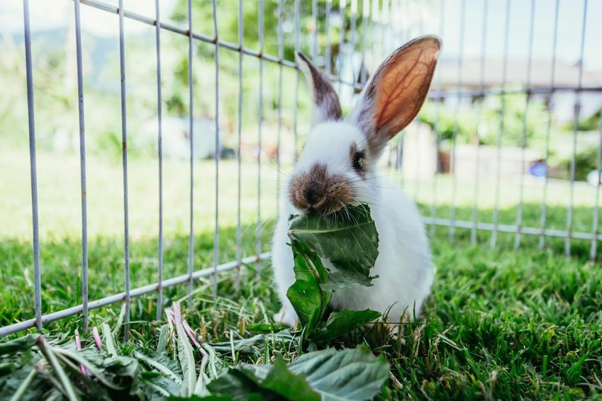 Królik na podwórku w klatce, a także klatka dla królika i jej rodzaje