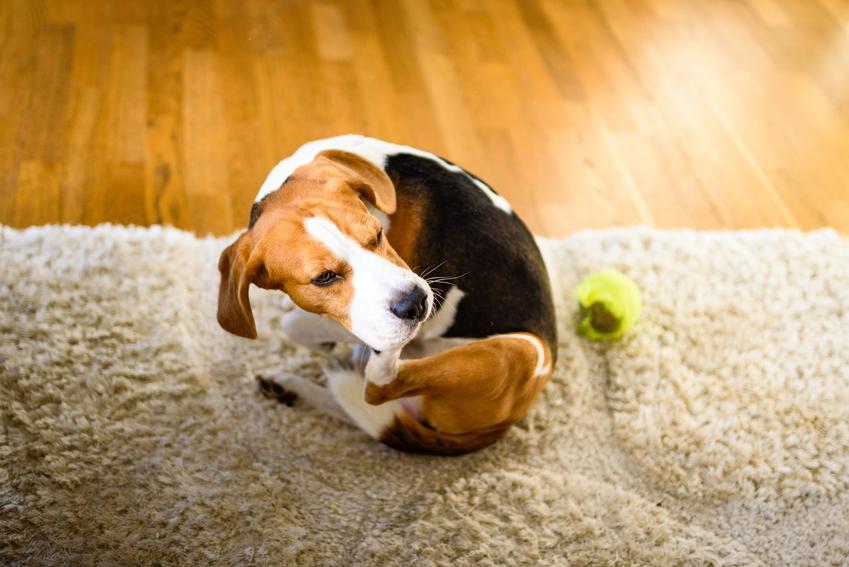 Pies drapiący się od pcheł, a także zdjęcia i informacje, jak wygląda pchła u człowieka