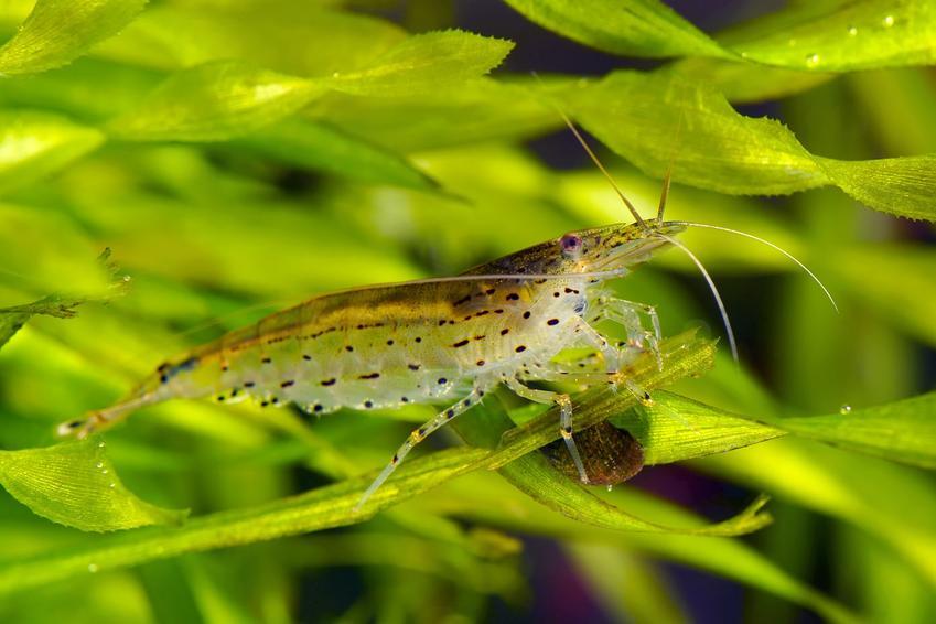 Krewetka amano na tle roślinek w akwarium, a także jej wymagania i hodowla