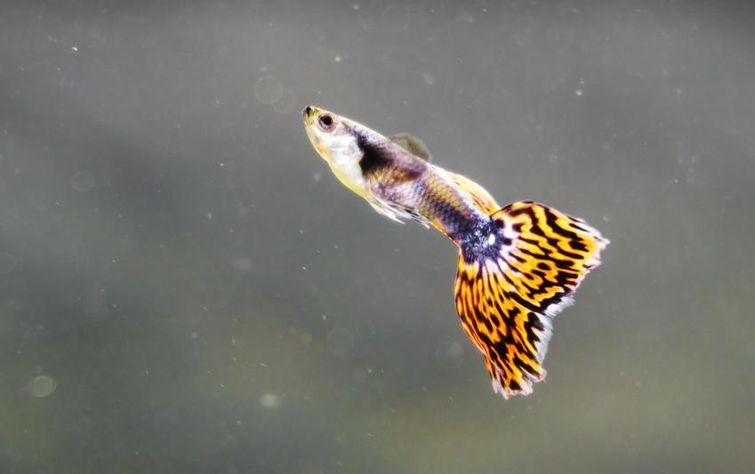Rybka akwariowa gupik na szarym tle w akwarium, a także gupik w ciąży