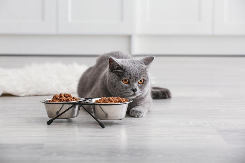 Kot brytyjski przed miskami z jedzeniem, czyli kot belgijski i jego charakter