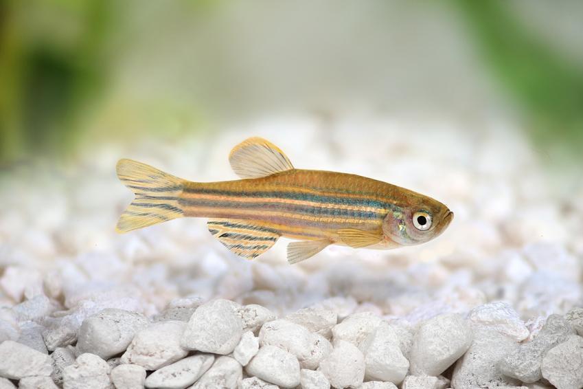 Rybka danio na tle kamyczków, a także inne kolorowe i ładne rybki do małego akwarium