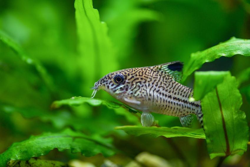 Kirysek w akwarium na tle roślin oraz inne kolorowe i ładne rybki do małego akwarium