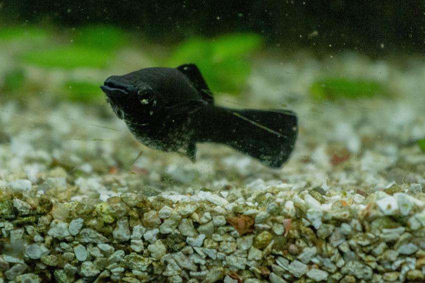 Pływająca przy dnie rybka molinezja oraz inne kolorowe i ładne rybki do małego akwarium