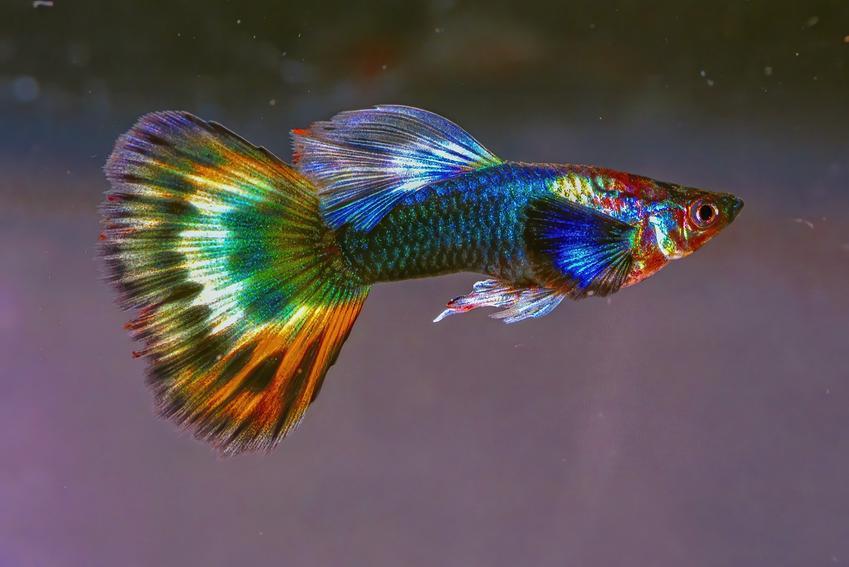 Gupik pawie oczko na szarym tle, a także inne kolorowe i ładne rybki do małego akwarium