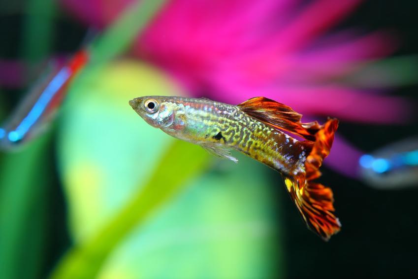 Gupik pawie oczko na kolorowym tle i inne barwne gatunki i odmiany gupików