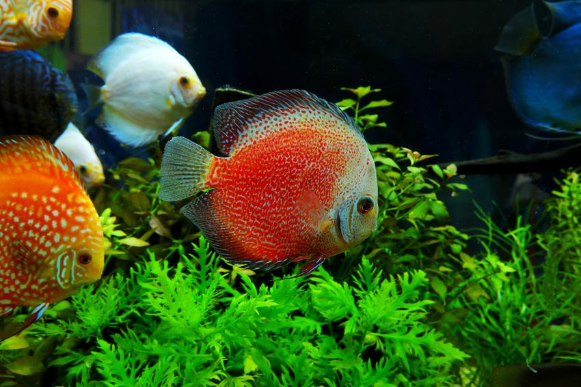 Symphysodon aequifasciata, czyli ryby paletki w akwarium i ich hodowla
