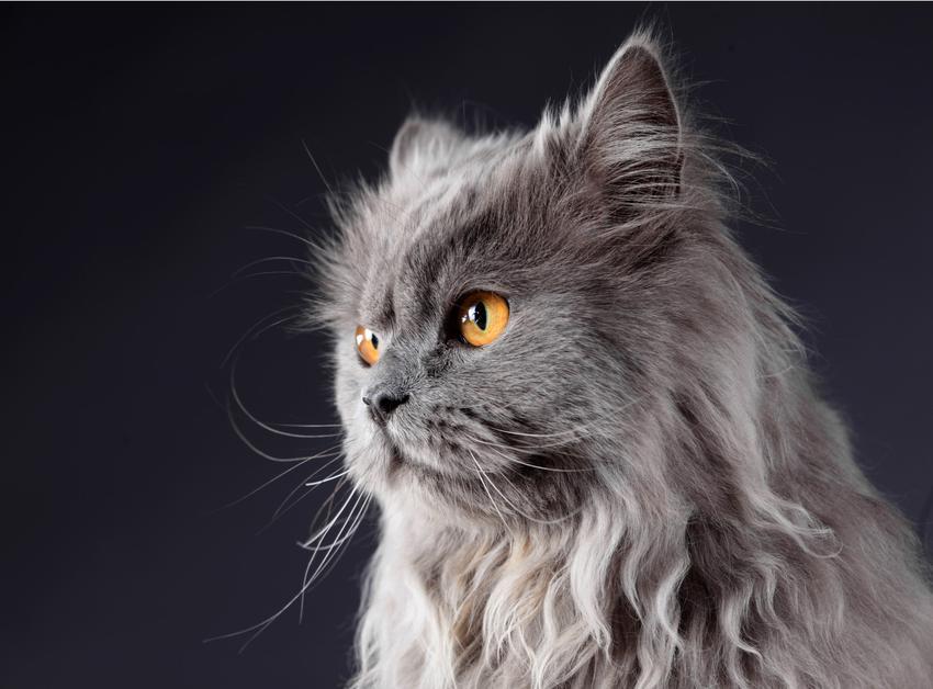 Szary kot perski na czarnym tle, a także jego charakter, hodowla i usposobienie