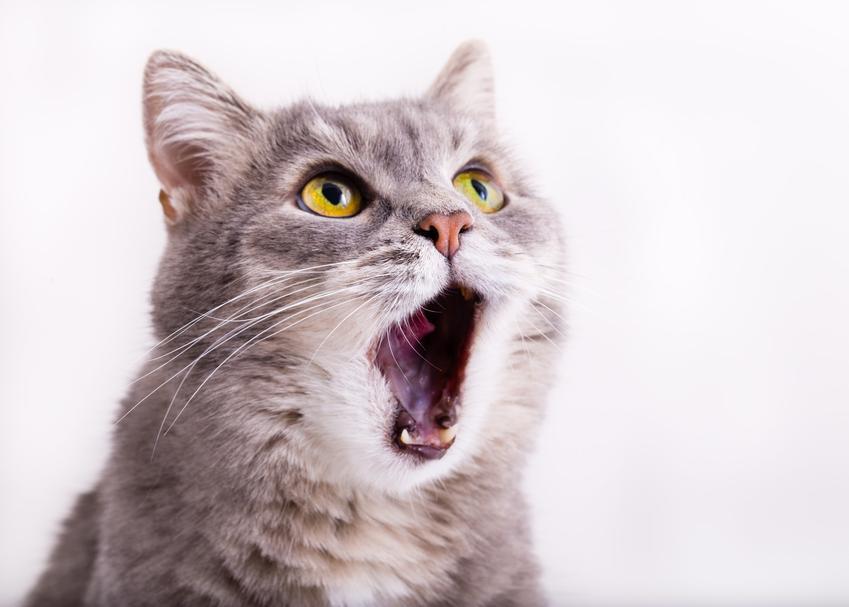 Miauczący kot, a także informacje dlaczego kot miauczy i co oznacza miauczenie kotów