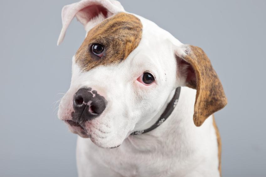 Pies rasy buldog amerykański na szarym tle oraz jego usposobienie i cena
