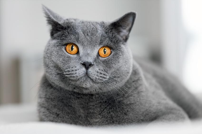 Kot brytyjczyk oraz charakter kota brytyjskiego, jego pielęgnacja i wychowanie