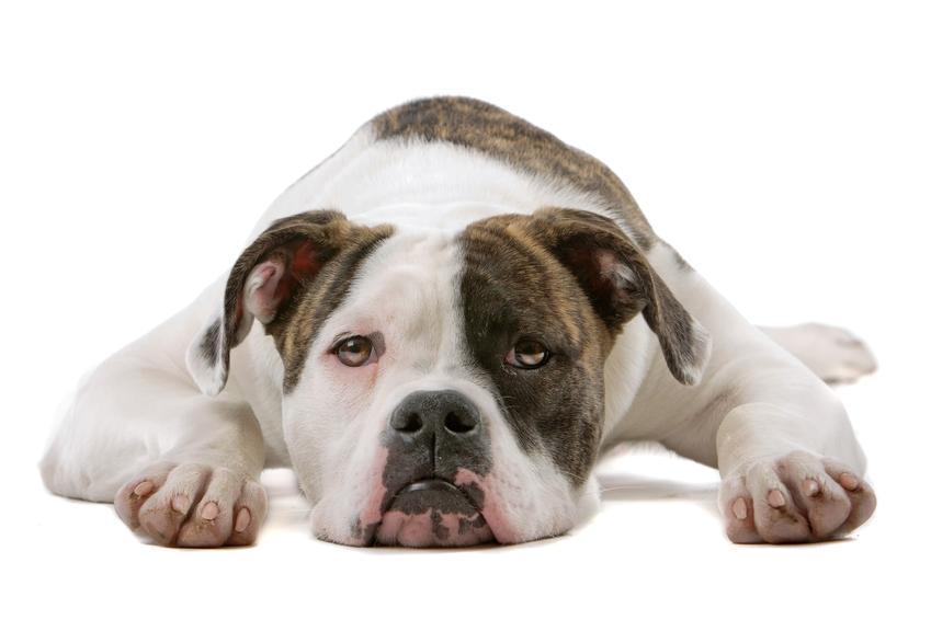 Pies rasy buldog amerykański na białym tle, a także cena buldoga amerykańskiego i hodowla