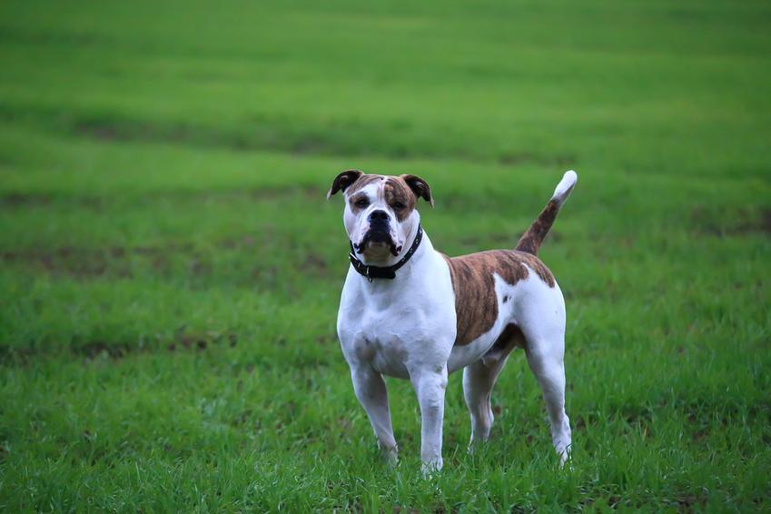 Pies rasy buldog amerykański na trawie, a także cena buldoga amerykańskiego