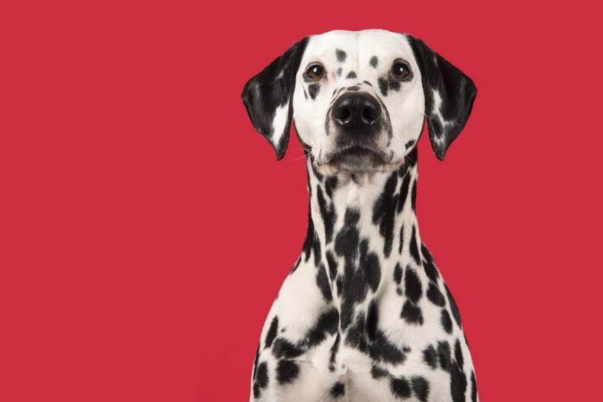 Pies rasy dalmatyńczyk na czerwonym tle, a także usposobienie dalmatyńczyka i informacje o rasie
