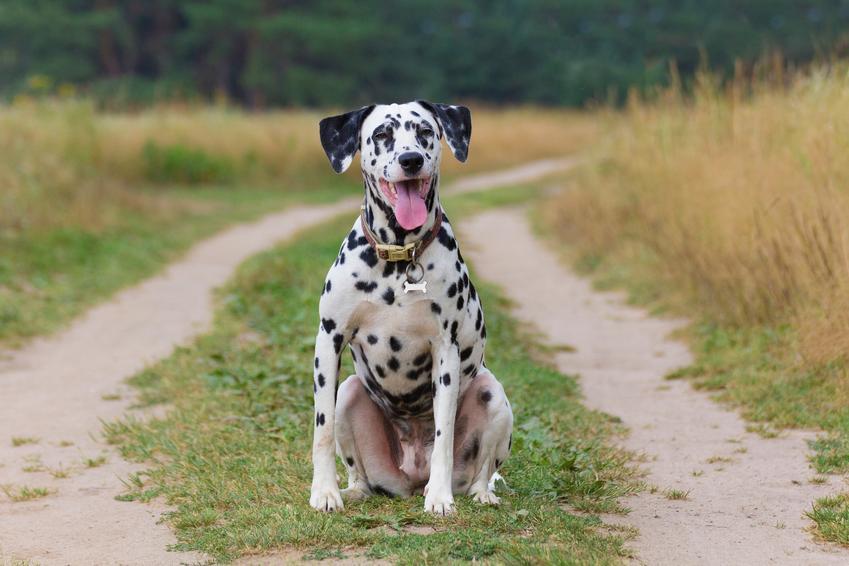 Pies rasy dalmatyńczyk na tle zieleni, a także usposobienie dalmatyńczyka i cena