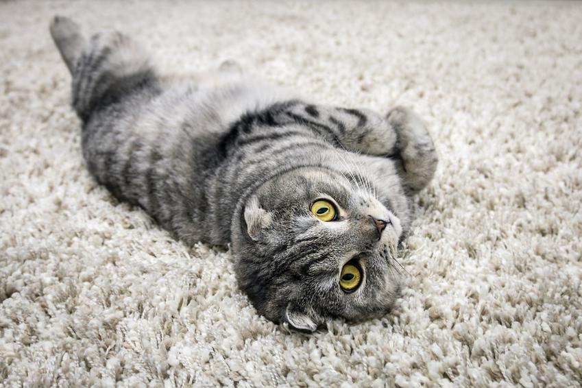 Kot szkocki zwisłouchy leżący na dywanie, a także cena szkockiego kota zwisłouchego