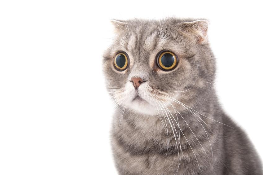 Kot szkocki zwisłouchy na białym tle, a także cena szkockiego kota zwisłouchego