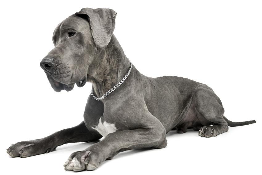 Pies rasy dog niemiecki siedzący na białym tle, a także jego charakter i opinie