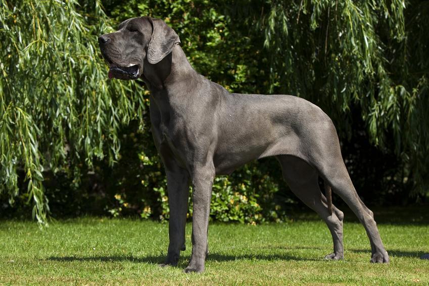 Pies rasy dog niemiecki na tle zieleni, a także cena doga niemieckiego i jego opis