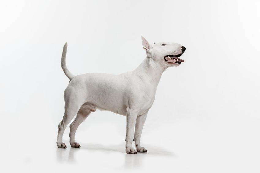 Pies rasy bulterier na białym tle, a także polecana hodowla bulteriera w Polsce