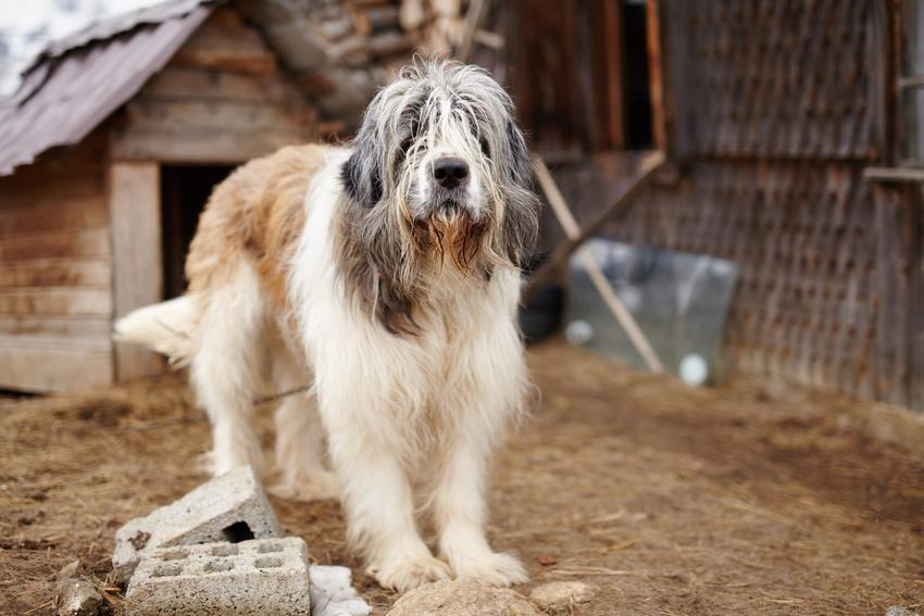Pies rasy owczarek karpacki przy budzie, a także jego charakter, cena i wychowanie