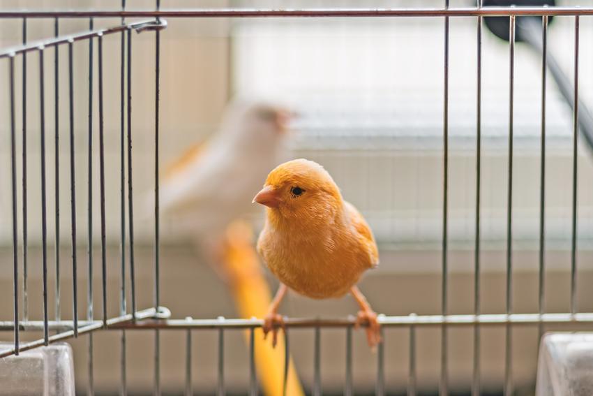 Ptak kanarek domowy na brzegu klatki, a także jego wymagania, karmienie i opis