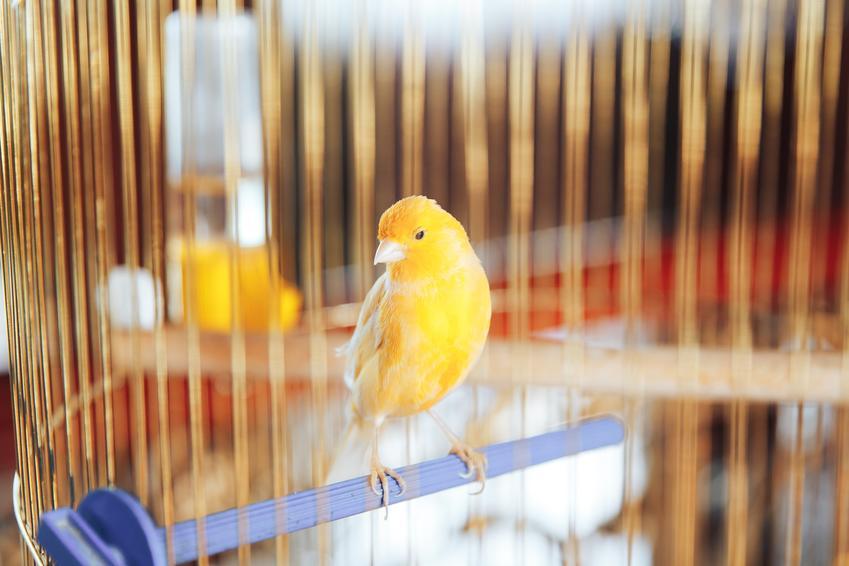 Ptak kanarek domowy w klatce, a także jego wymagania, cena, karmienie, opieka