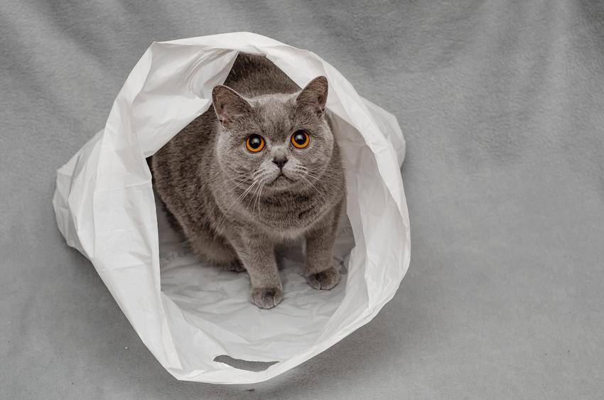 Kot belgijski siedzący w reklamówce, a także cena kotów belgijskich