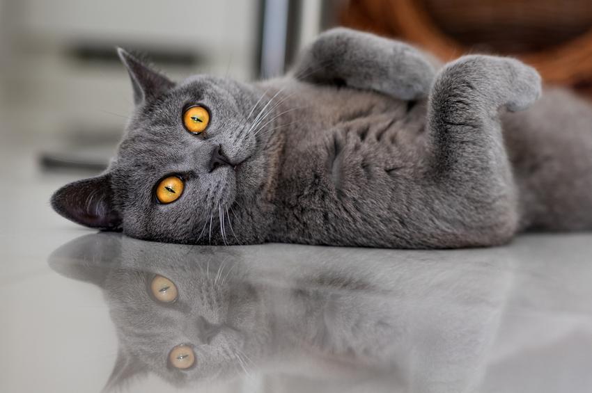 Kot belgijski leżący na podłodze, a także cena kotów belgijskich