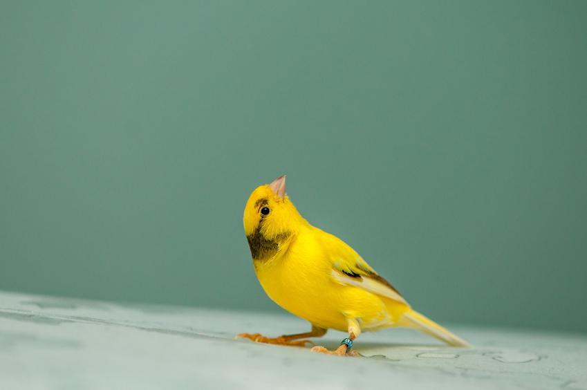 Żółty kanarek na zielonym tle, a także długość życia i ile żyje kanarek