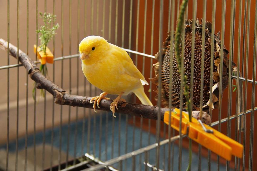 Żółty kanarek na gałęzi w klatce, a także informacje, ile żyje kanarek