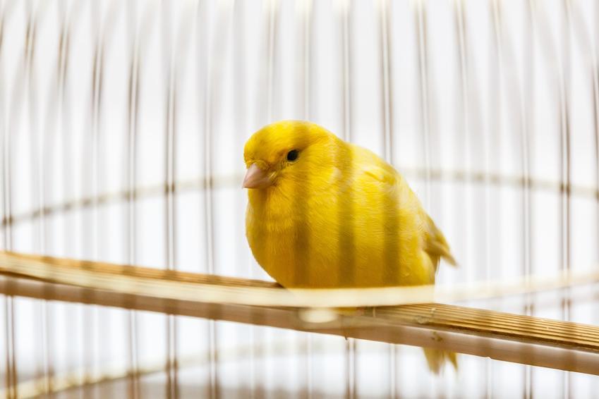 Żółty kanarek domowy w klatce, a także cena kanarka domowego
