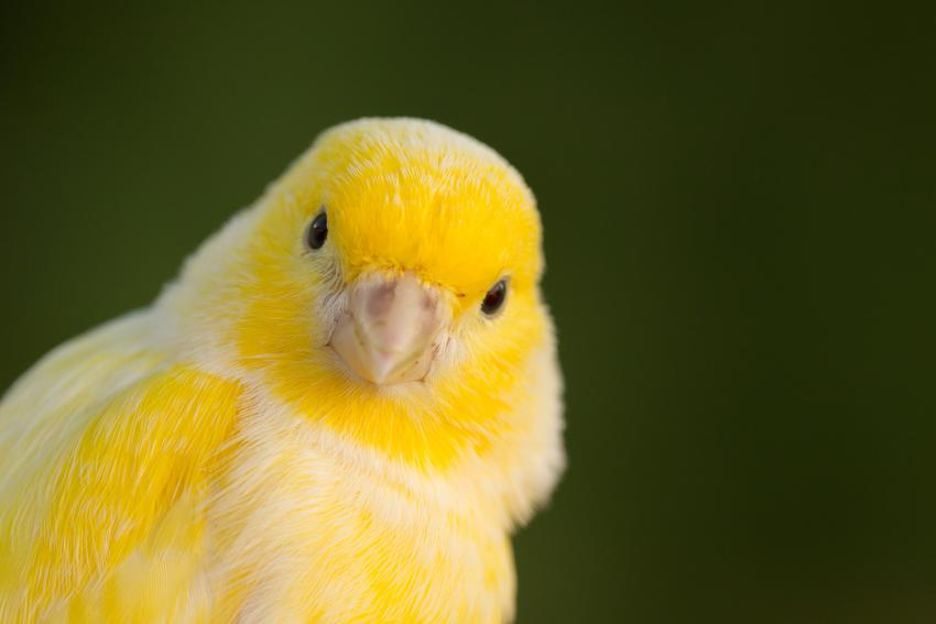 Żółty kanarek domowy na zielonym tle, a także cena kanarka domowego