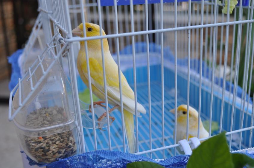 Kanarki w niebieskiej klatce, a także klatka dla kanarka i jej producent