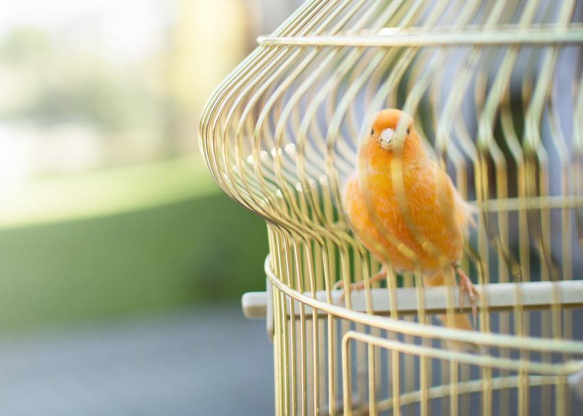 Ozdobna klatka dla kanarka z ptakiem w środku, a także producent i cena