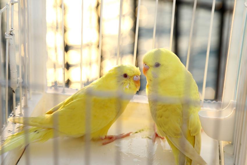 Dwa żółte kanarki w klatce, a także wymagania i hodowla kanarków w domu