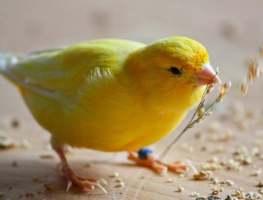Kanarek harceński, a także kanarki harceńskie, ich zachowanie, śpiew i choroby