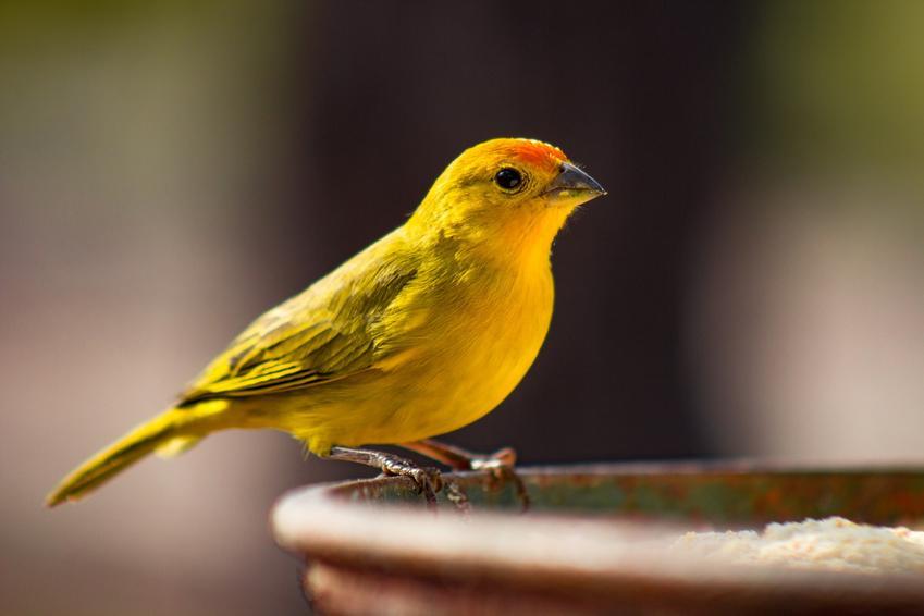 Żółty kanarek na szarym tle, a także choroby kanarków i ich leczenie