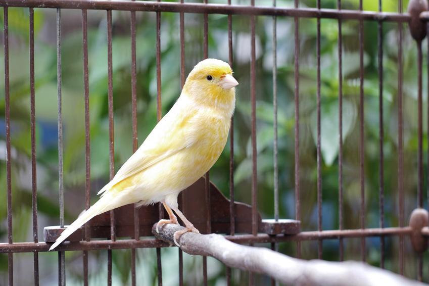 Duży żółty kanarek w klatce, a także choroby kanarków i ich objawy