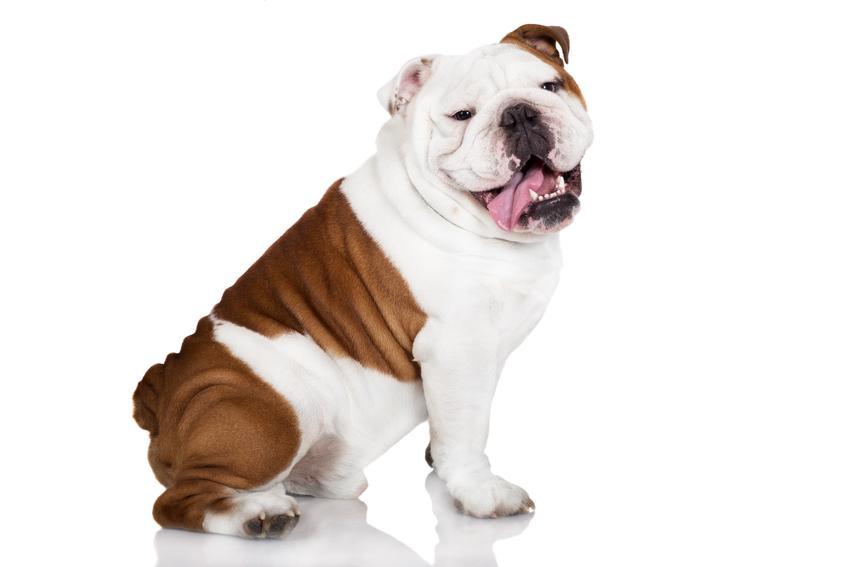 Pies rasy buldog angielski na białym tle, a także hodowla buldoga angielskiego w Polsce