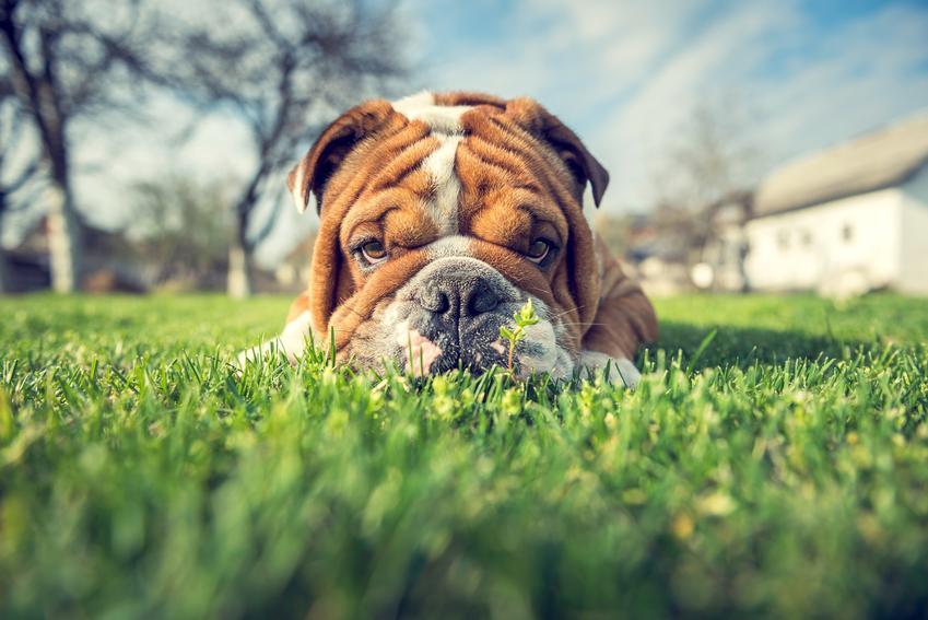 Pies rasy buldog angielski miniaturka leżący w trawie i informacje o istnieniu rasy